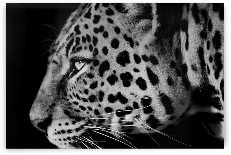 Leopard Face b+w by Thula-Photography