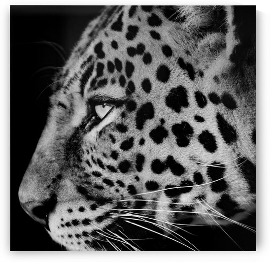 Leopard Face b+w square by Thula-Photography