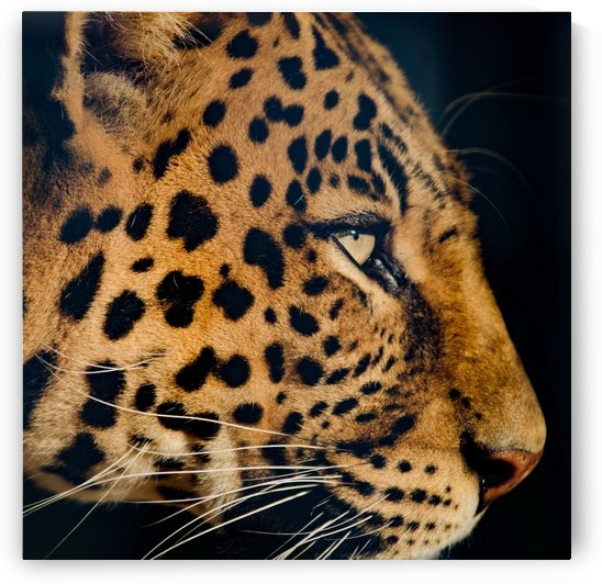 leopard portrait color square by Thula-Photography