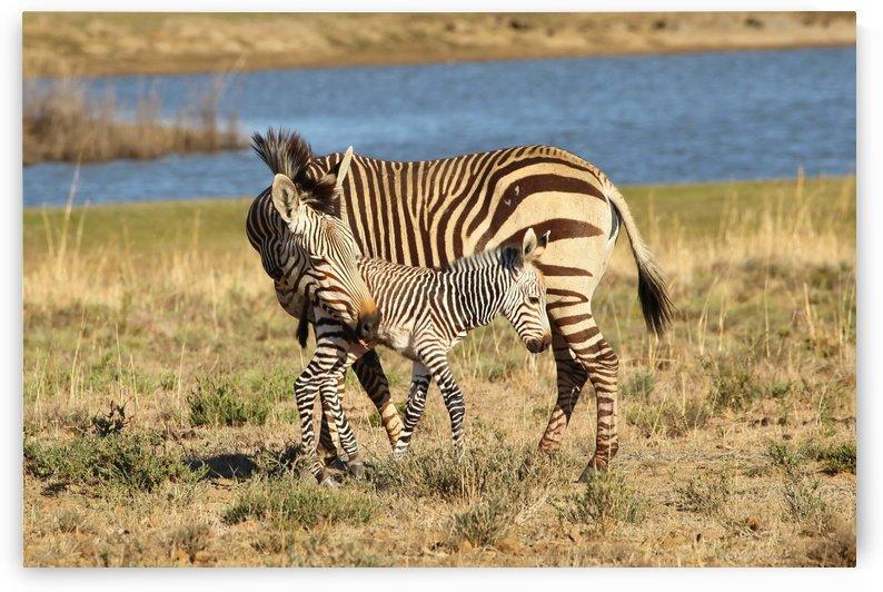 Zebra Love 6923 by Thula-Photography