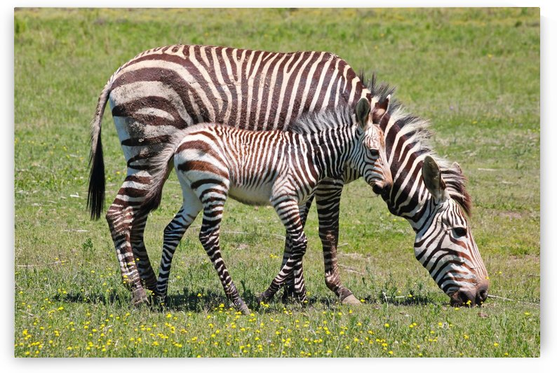 Zebra Mother with Baby 8283 by Thula-Photography