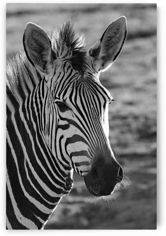 Zebra Portrait 8429 b+w by Thula-Photography