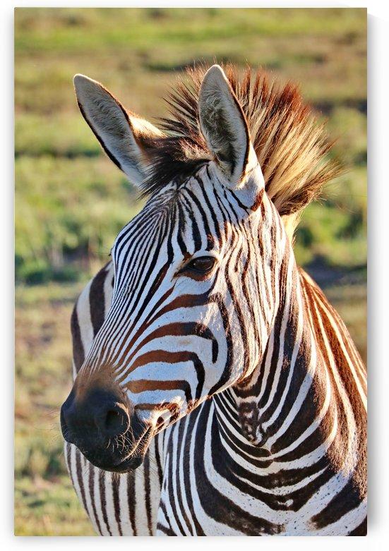 Zebra Portrait 8434 by Thula-Photography