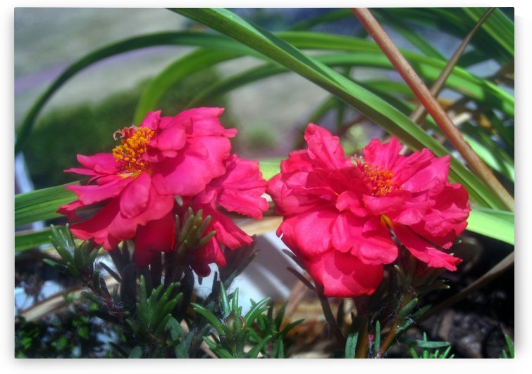 Fuschia Garden Flowers by Jaeda DeWalt