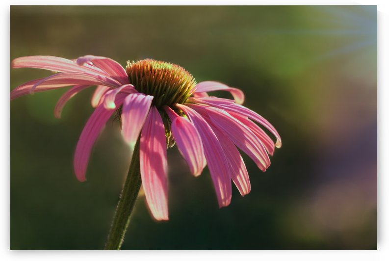 Coneflower by Kathryn Stone