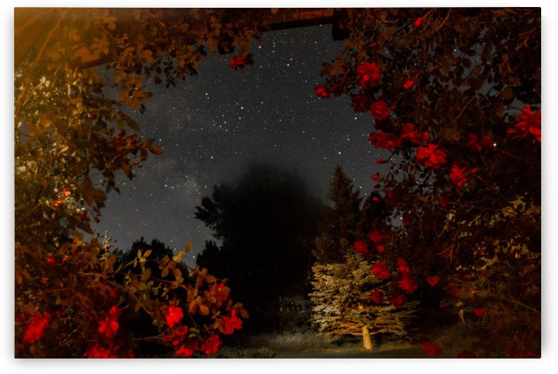 Roses and Stars  by John Anderson