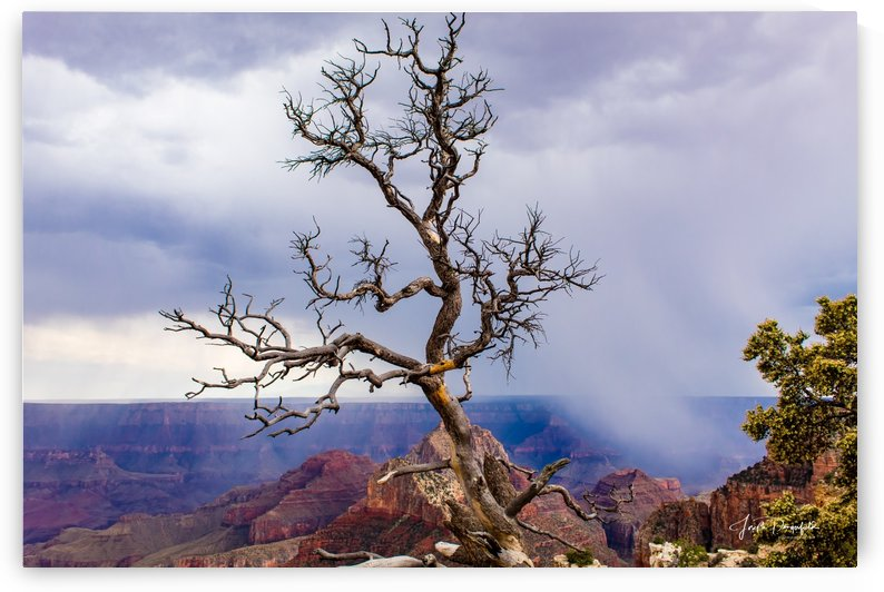 Grand Canyon Tree (North Rim)  by Gryphon Photography