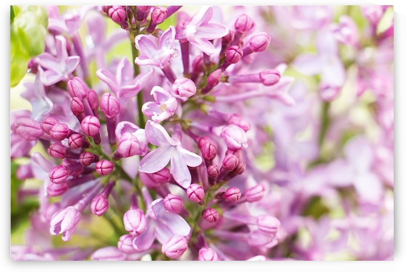 Lilacs by Kathryn Stone