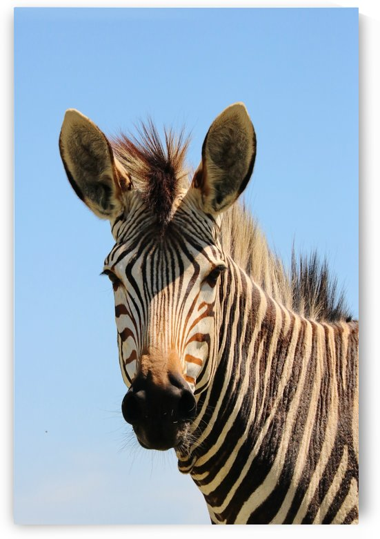 Hartmanns Mountain Zebra 8145 by Thula-Photography