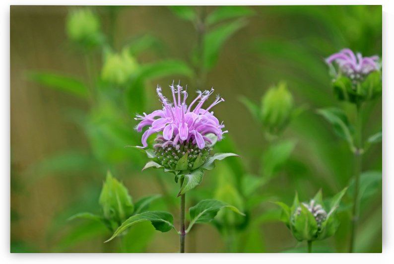 Wild Bergamot by Deb Oppermann
