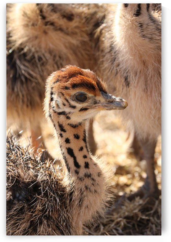 Ostrich Chick two weeks old 1967 by Thula-Photography