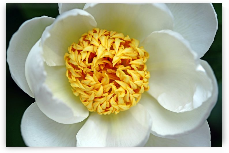 Classic White Peony by Deb Oppermann