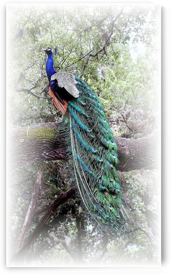 Posing Peacock by Ellen Barron O-Reilly