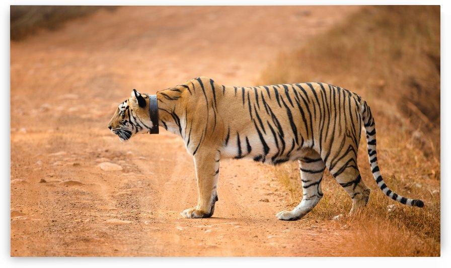 Alert Tiger by Gurdyal Singh