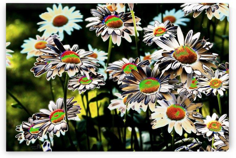 Marguerites en couleur-Colored daisys by Sylvain Bergeron Photographies
