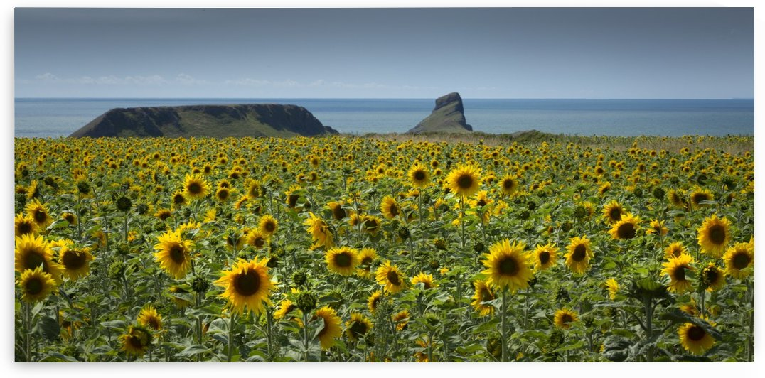 A field of Sunflowers by Leighton Collins