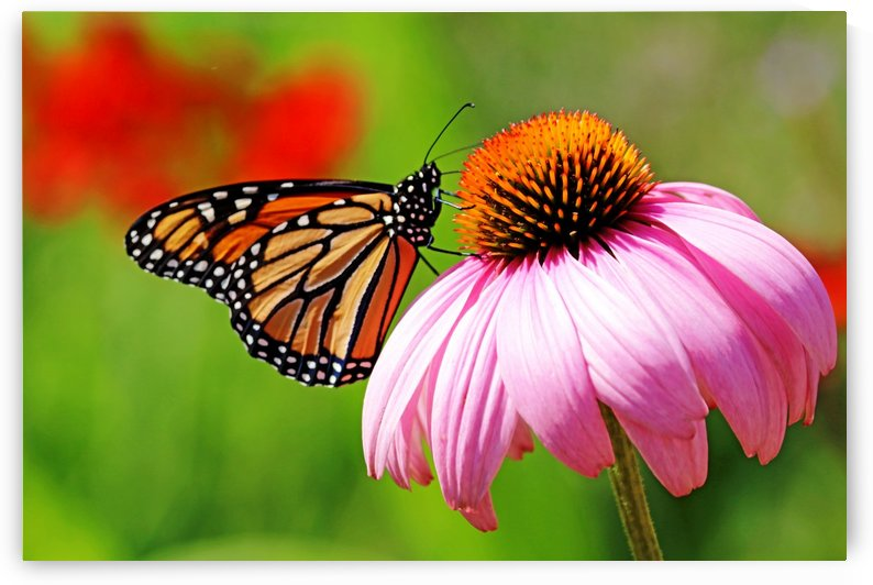 Monarch And Purple Coneflower by Deb Oppermann