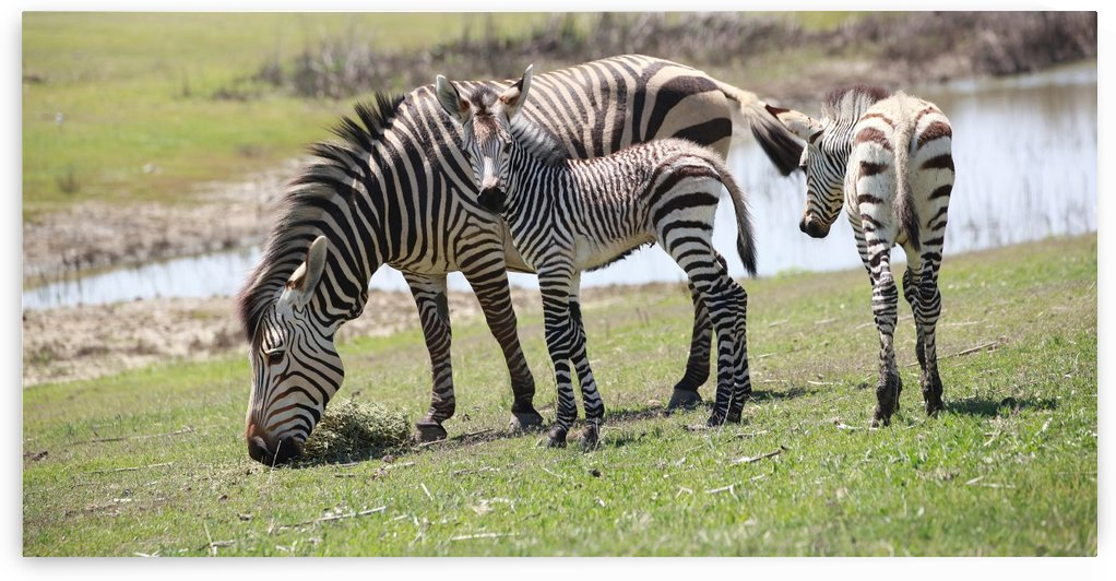 Zebras 7348 by Thula-Photography
