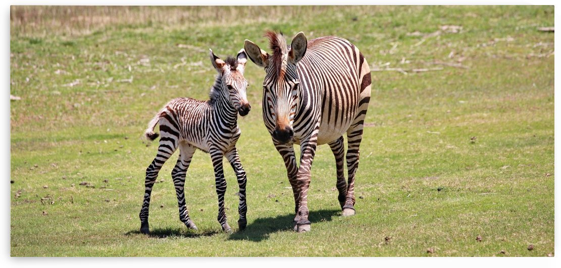 Baby Zebra with Mohter 7421 by Thula-Photography