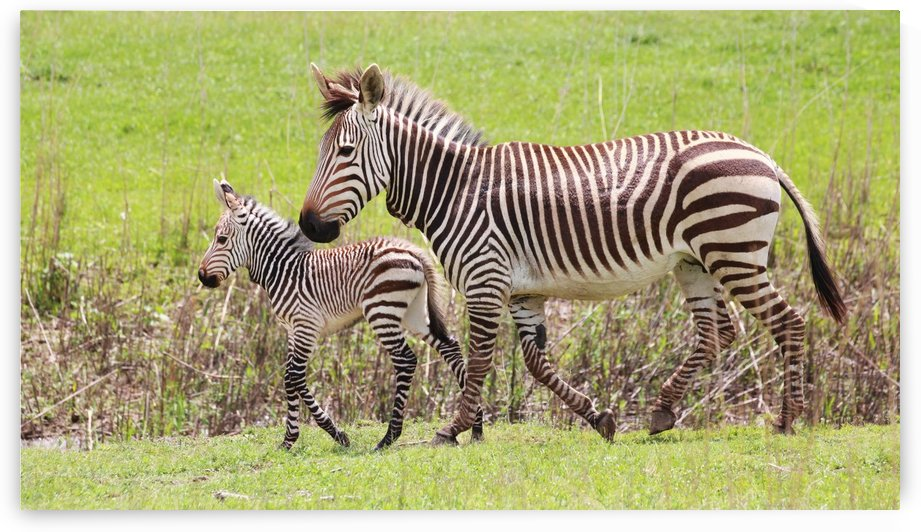 Hartmanns Mountain Zebra Mohter with Baby 7665 by Thula-Photography