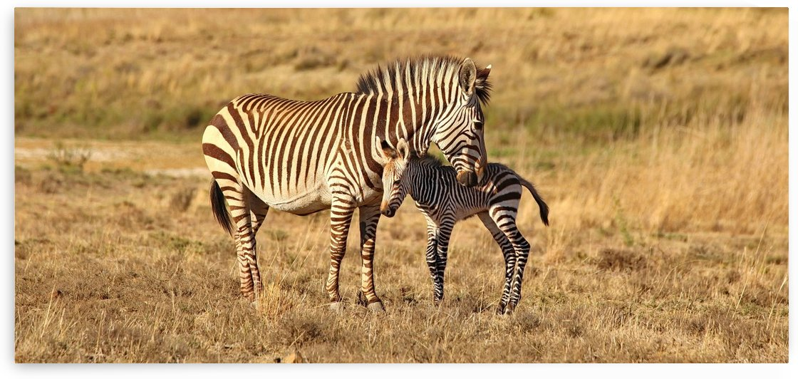 Zebra Love 6845 pano by Thula-Photography