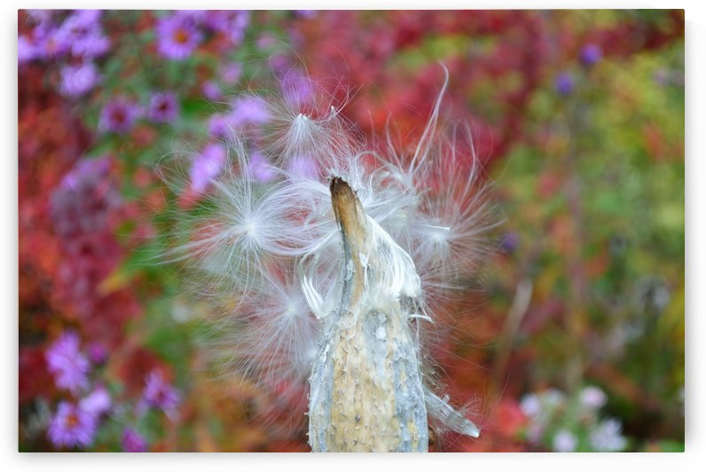 Milkweed Seeds by Michelle K Wood