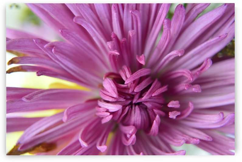 Fuscia-Colored Aster by Michelle K Wood