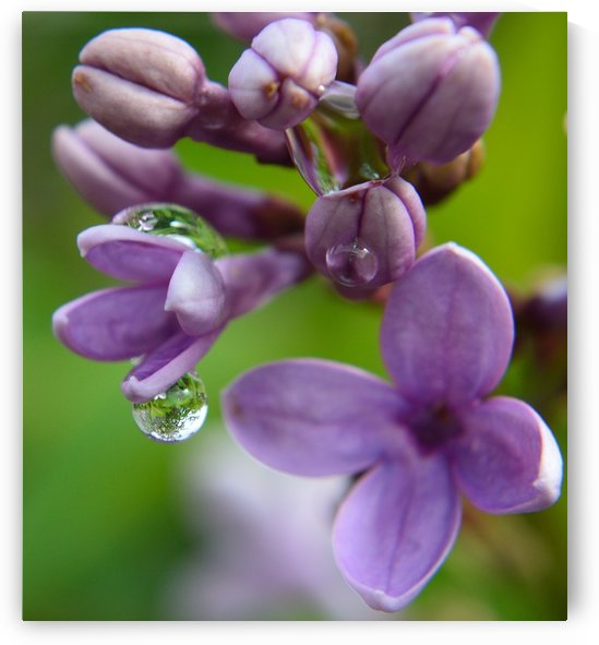 Lilac Blossom Rain Drop Reflection by Michelle K Wood