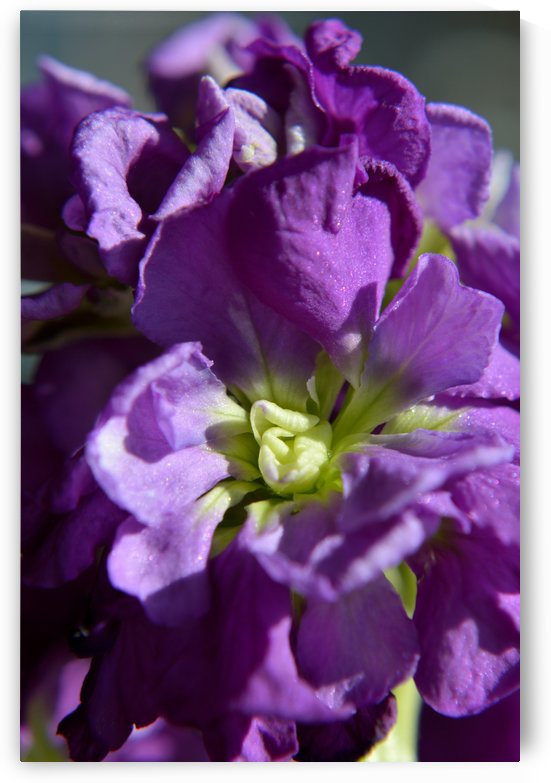 Purple Stock Blossoms by Michelle K Wood
