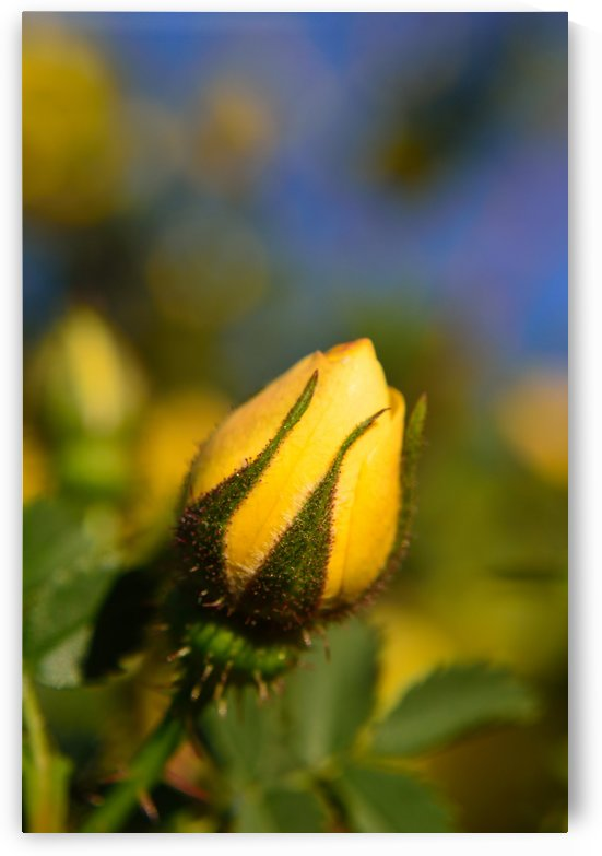 Yellow Rosebud by Michelle K Wood