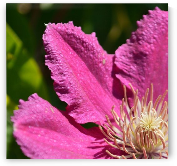 Clematis Comtesse de Bouchaud by Michelle K Wood