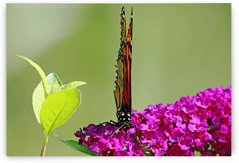 Monarch On Buddleia With Wings Folded by Deb Oppermann