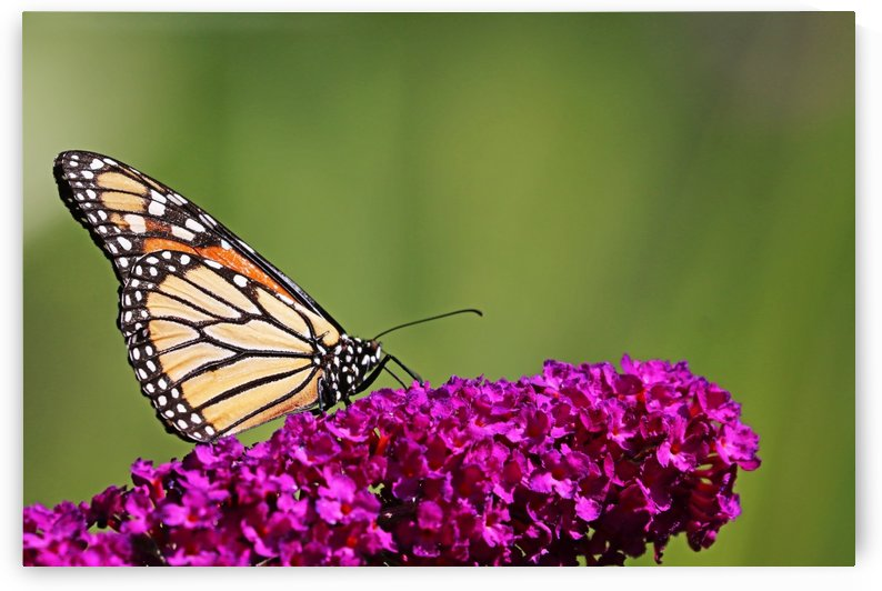 Monarch On Magenta Bloom by Deb Oppermann