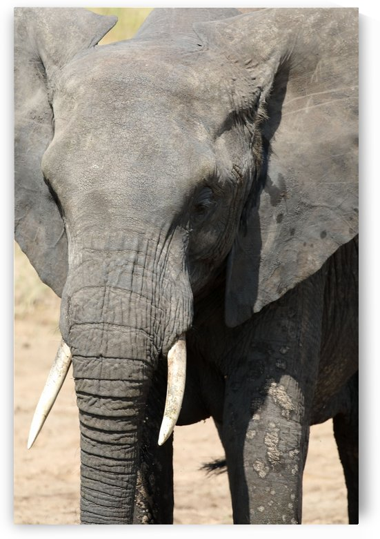 African Elephant by Eliot Scher