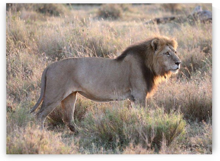 African Lion by Eliot Scher