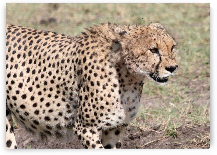 Cheetah by Eliot Scher