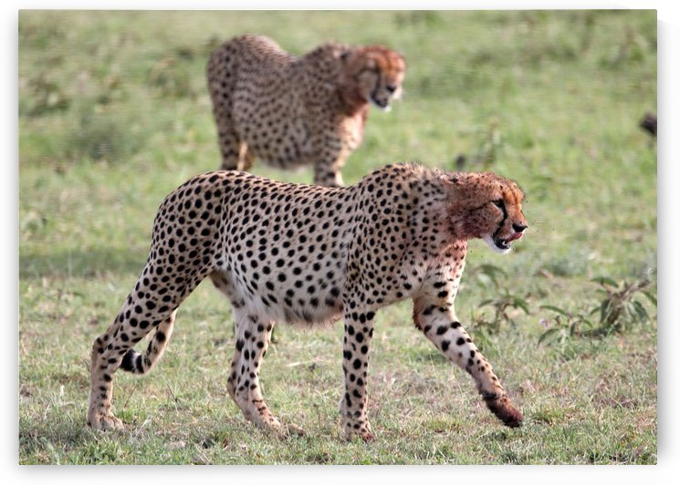Cheetahs After Lunch by Eliot Scher