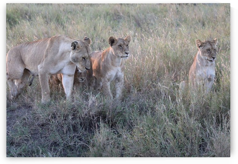 Four Lions by Eliot Scher