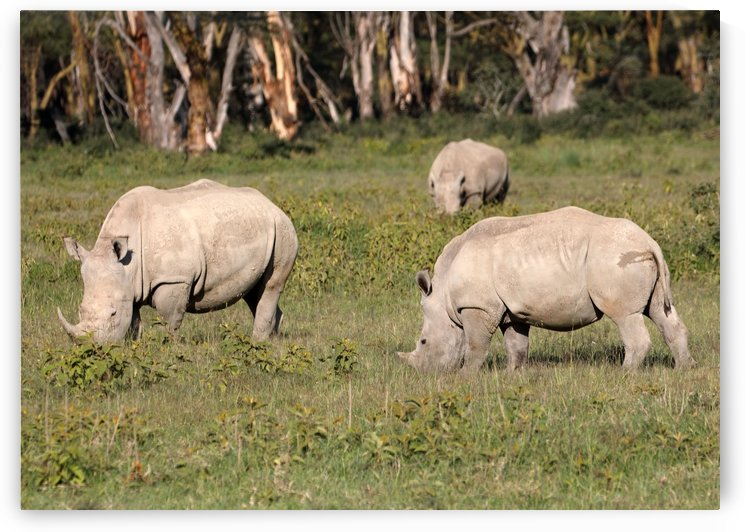 Three Rhino by Eliot Scher