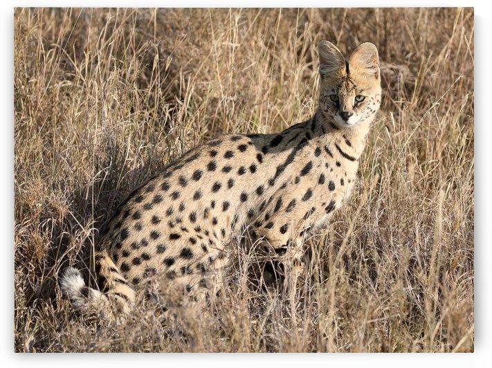 Serval by Eliot Scher