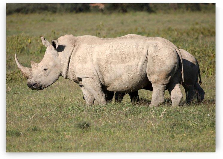 White Rhino by Eliot Scher