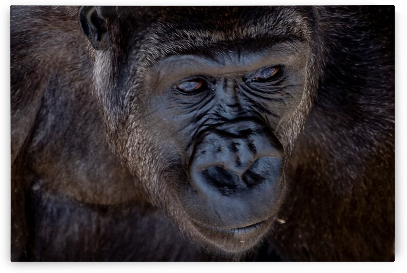 Calgary Gorilla 1 by Dave Therrien