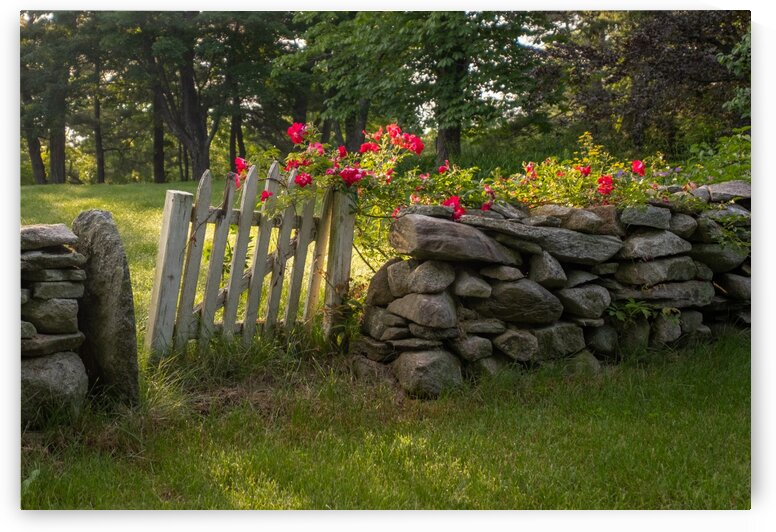 Roses on the Wall by Dave Therrien
