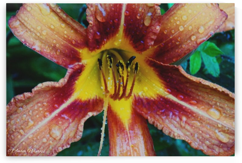 Eye of the tiger lily by Amber Norcross