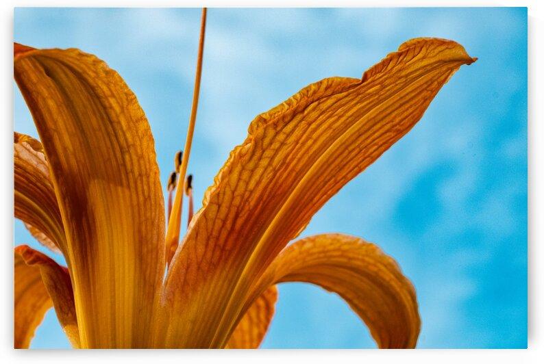 Orange Iris 3 by Dave Therrien
