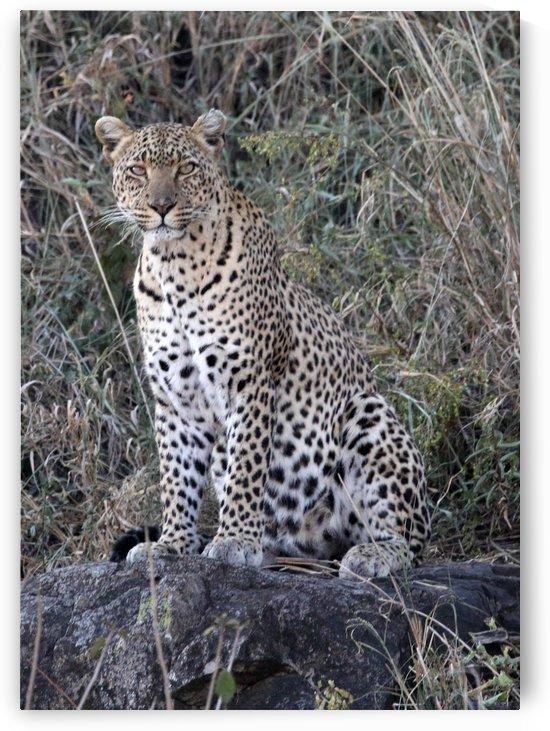 Leopard of the Serengeti by Eliot Scher