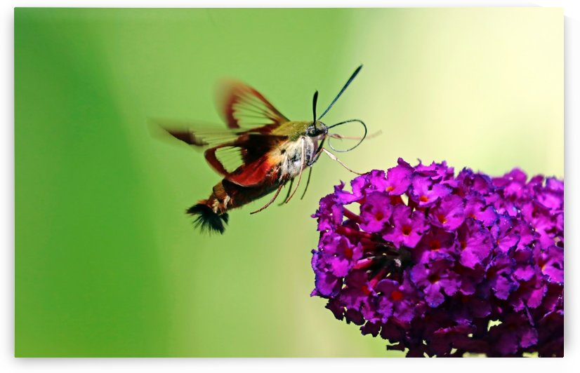 Clearwing Moth And Buddleia by Deb Oppermann