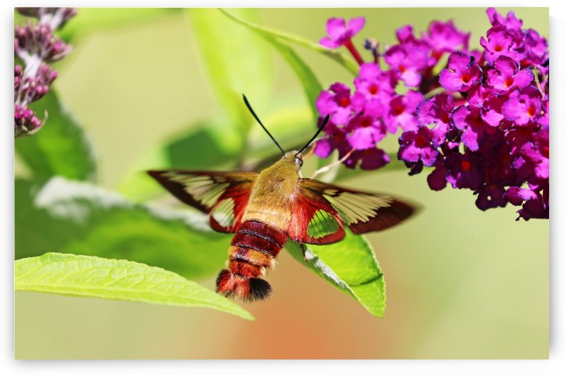 Clearwing Moth Sipping Nectar On Buddleia by Deb Oppermann