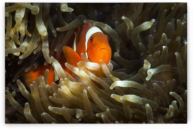 clown fish. 01jpg by Sylvain Girardot