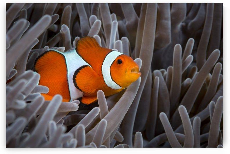 clown fish. 02 by Sylvain Girardot
